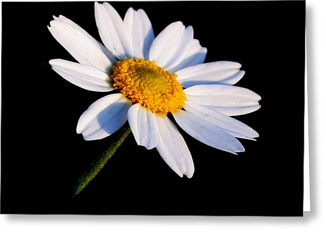 Greeting Card featuring the photograph Little Daisy by Karen Harrison