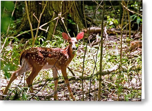 Little Deer Greeting Card by Bob Niederriter