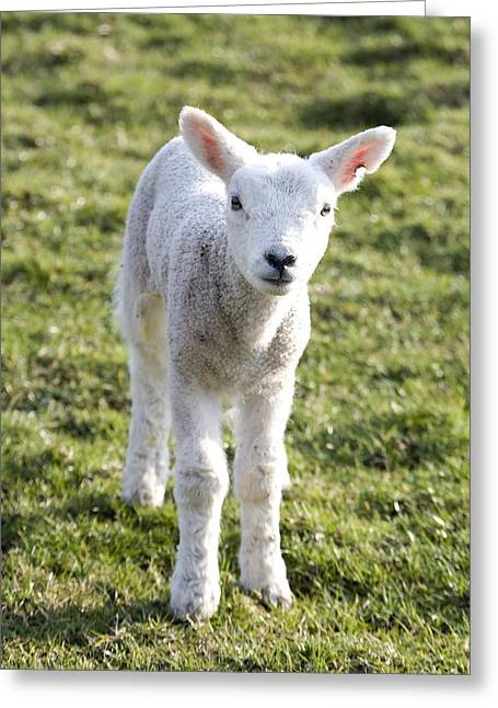 Little Lamb Greeting Card