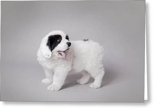 Little Landseer Puppy Portrait Greeting Card by Waldek Dabrowski