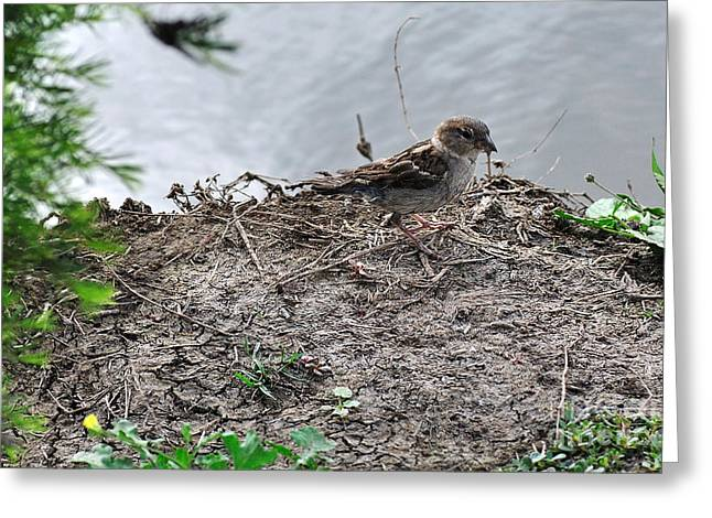 Little Sparrow Well Camouflaged Greeting Card