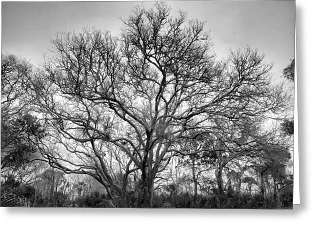 Live Oak Grove Greeting Card by Steven Ainsworth