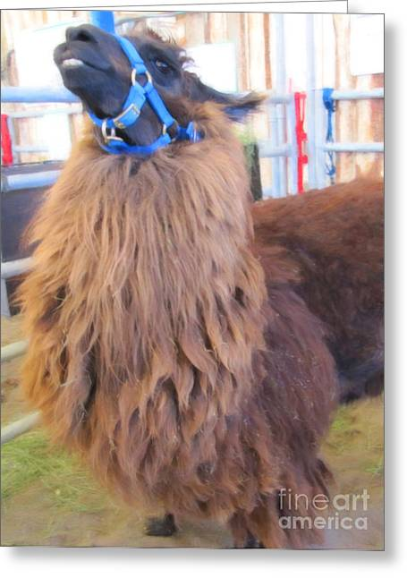 Llama Ready To Spit Greeting Card