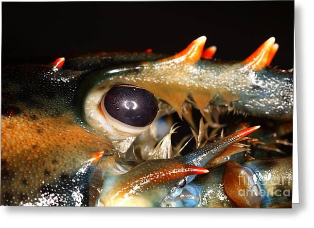 Lobster Eye Greeting Card by Ted Kinsman