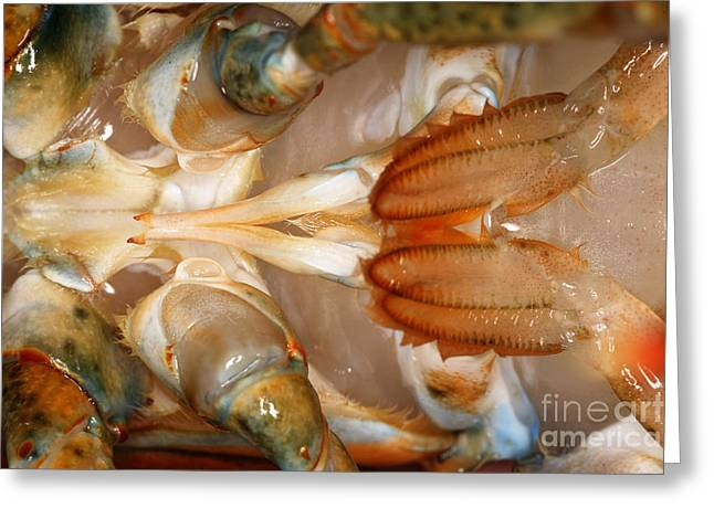 Lobster Male Sex Organs Greeting Card by Ted Kinsman