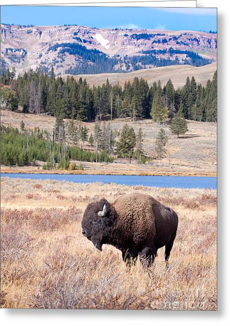 Lone Buffalo Greeting Card by Cindy Singleton