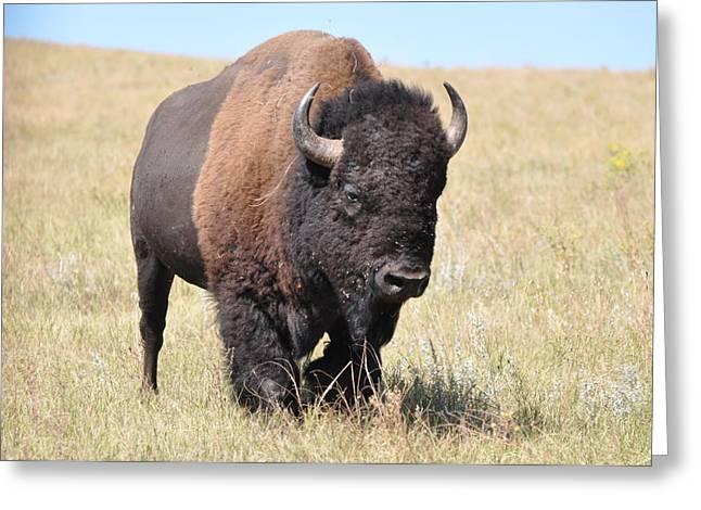 Lone Bull Buffalo Greeting Card