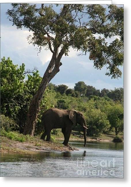 Lone Elephant Water Hole Greeting Card by Carol Wright