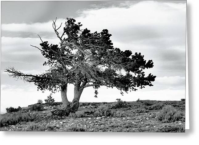 Lone Pine Tree Greeting Card