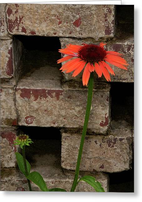 Lonely Zinnia On Wall Greeting Card