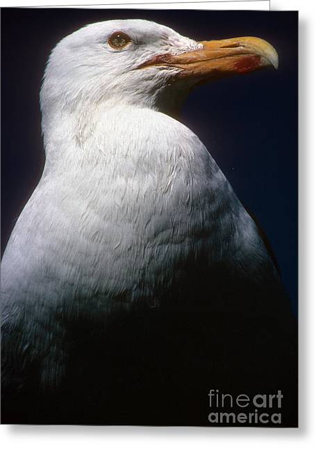 Long Island Seagull Greeting Card
