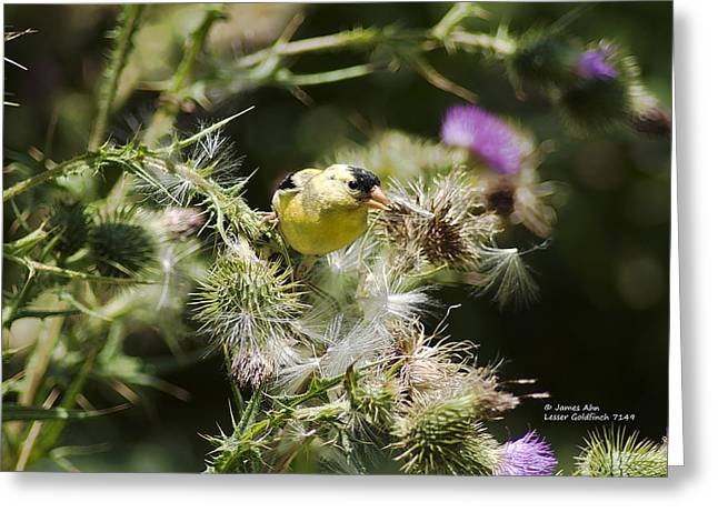 Look At Me - Lesser Goldfinch Greeting Card