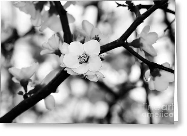 Looking Through The Blossoms - Black And White Greeting Card