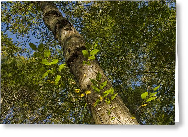 Looking Up At A Tree Trunk Greeting Card