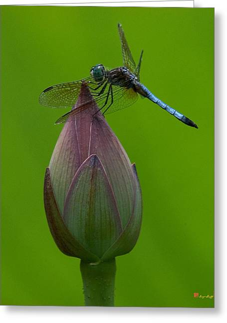 Lotus Bud And Blue Dasher Dragonfly Dl007 Greeting Card
