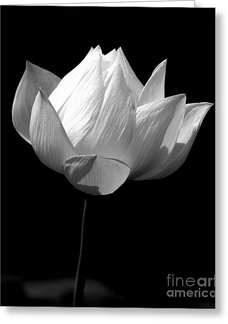 Lotus Bw Greeting Card