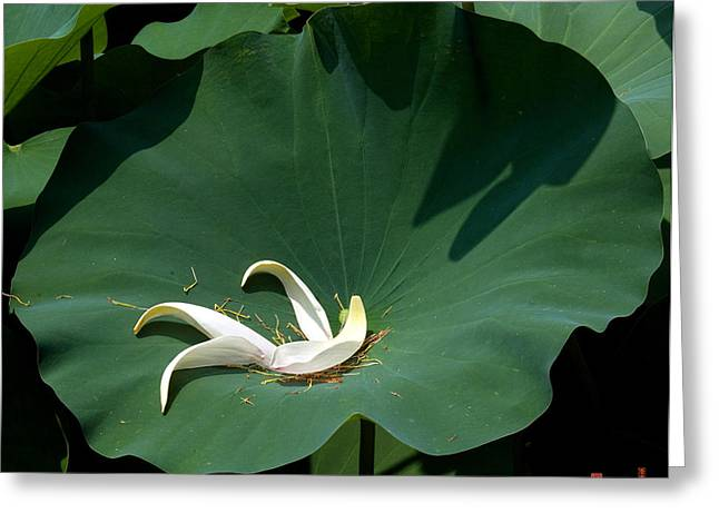Lotus Leaf--castoff IIi Dl060 Greeting Card by Gerry Gantt