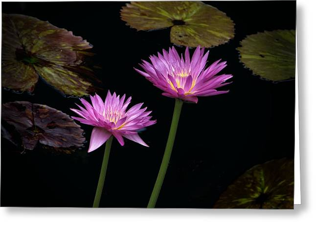 Lotus Water Lilies Greeting Card by Rudy Umans