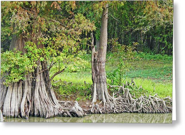 Greeting Card featuring the photograph Louisiana Cypress by Lizi Beard-Ward