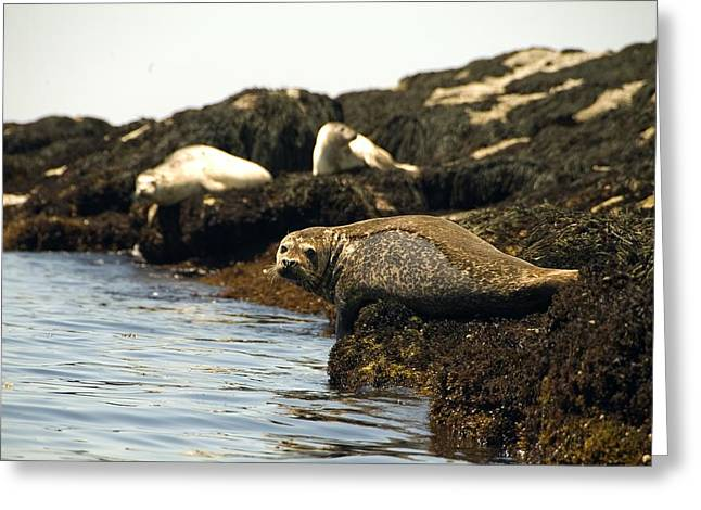 Greeting Card featuring the photograph Lounging Seals by Rick Frost
