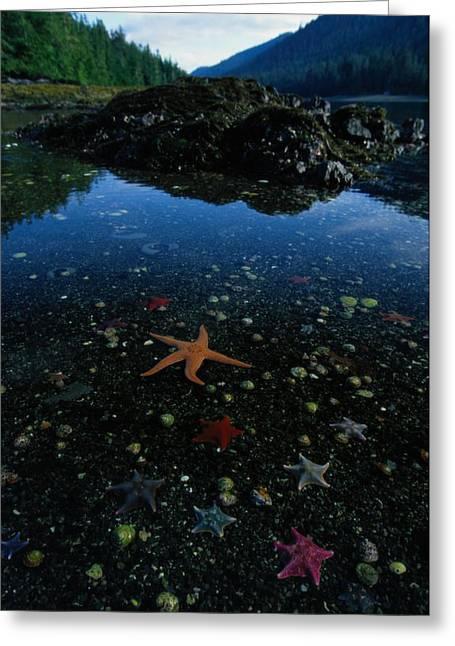 Low Tide Reveals A Galaxy Of Bat Stars Greeting Card by Raymond Gehman