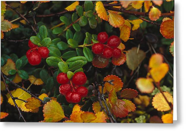 Lowbush Cranberries Vaccinium Vitis Greeting Card by Nick Norman