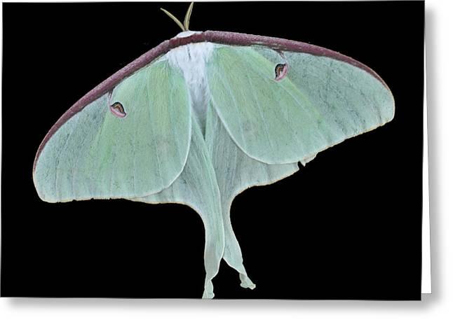 Luna Moth Greeting Card by Paul Ward
