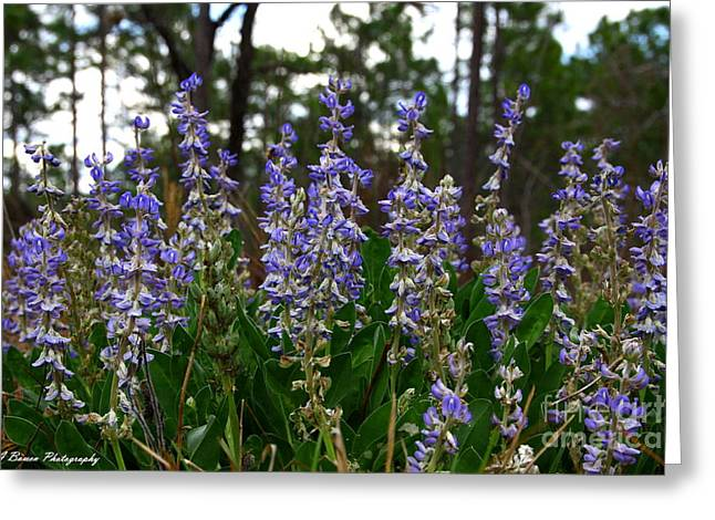 Lupine Patch Greeting Card by Barbara Bowen