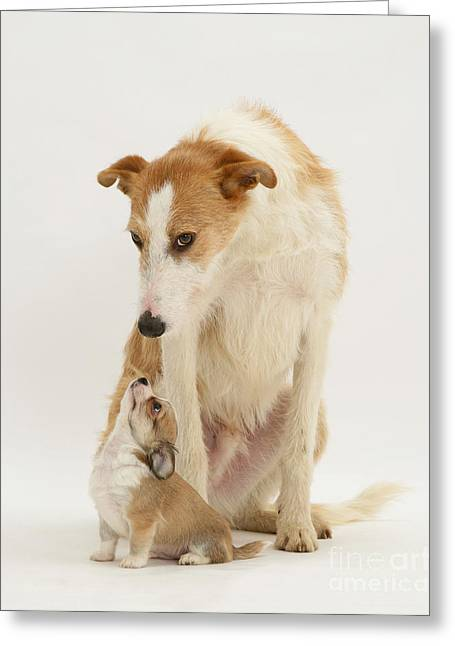 Lurcher And Chihuahua Greeting Card by Jane Burton