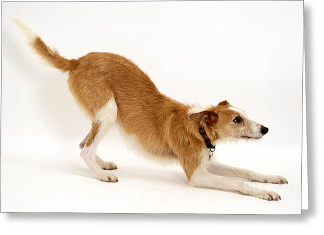 Lurcher Bowing Greeting Card