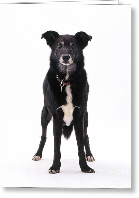Lurcher With Cataracts Greeting Card