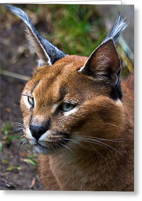 Lynx Greeting Card by James Begley