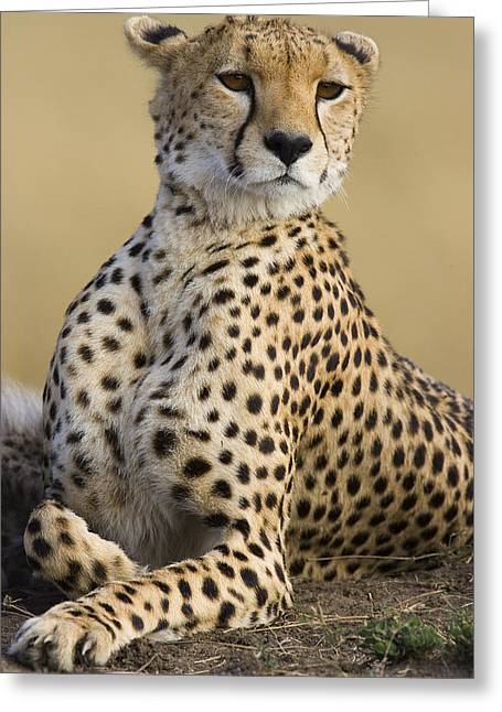 Maasai Mara Cheetah  Greeting Card