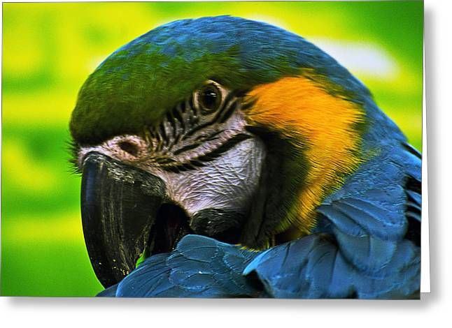 Macaw Greeting Card by Cheryl Cencich