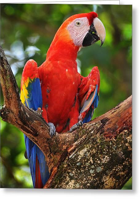 Macaw Of Copan Greeting Card by Paul Bratescu