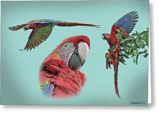 Macaw Sketch Greeting Card by Larry Linton