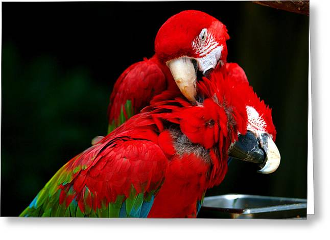 Macaws Greeting Card by Paul Ge