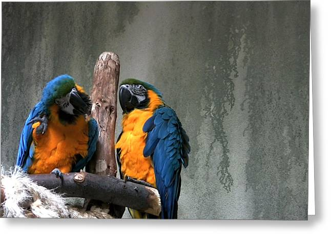 Maccaw Parrots Greeting Card by Kim French