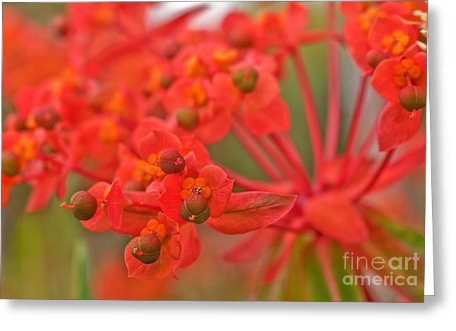 Greeting Card featuring the photograph Macro Euphorbia Fireglow Plant by Valerie Garner