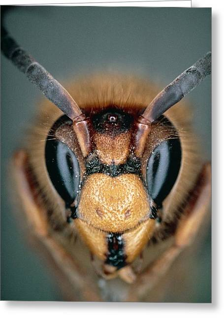 Macrophoto Of Head Of Hornet Vespa Crabro Greeting Card by Dr. Jeremy Burgess