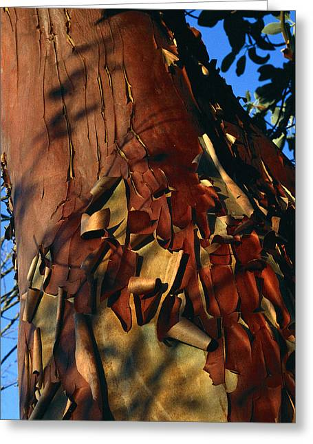 Madrone Tree Bark Greeting Card