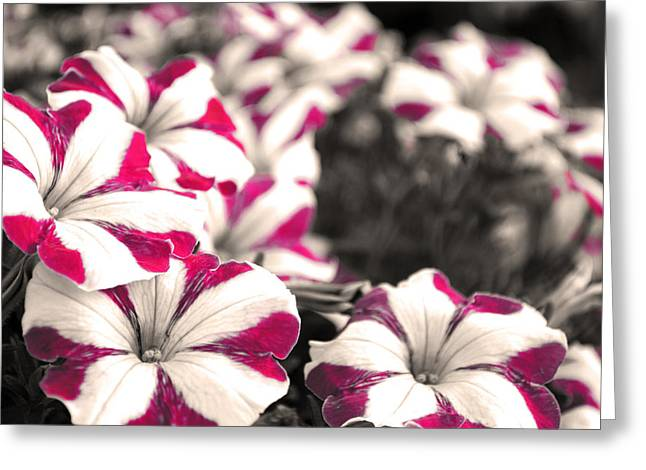 Magenta Flowers Greeting Card by Sumit Mehndiratta