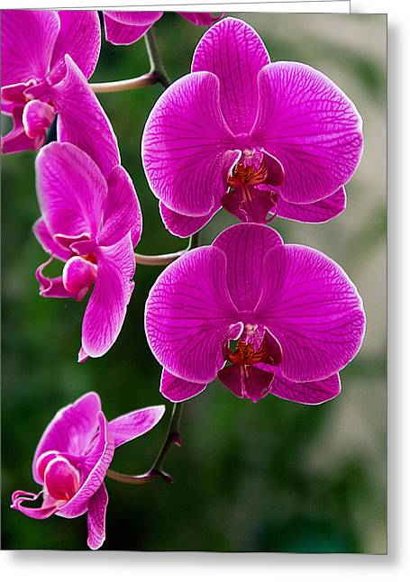 Magenta Orchid Medley Greeting Card by Anna Rumiantseva