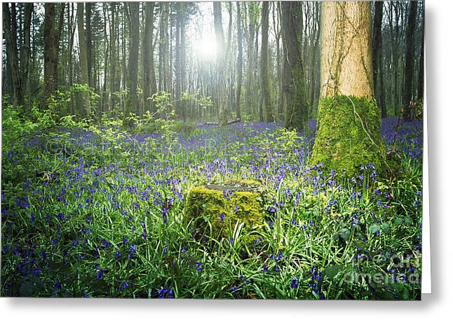 Magical Bluebell Forest In Kildare Ireland Greeting Card by Catherine MacBride