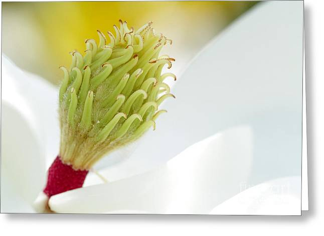 Magnificant Magnolia Macro  Greeting Card by Sabrina L Ryan