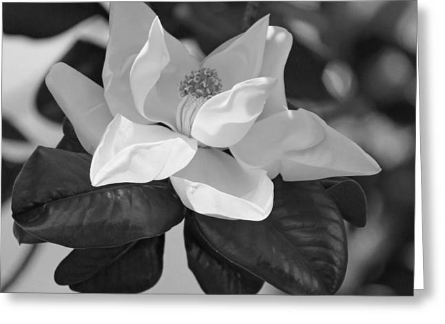 Magnificence In Black And White Greeting Card by Suzanne Gaff