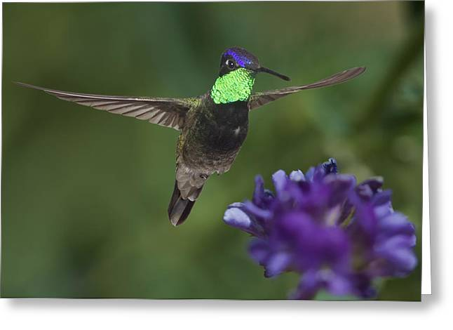 Magnificent Hummingbird Greeting Card