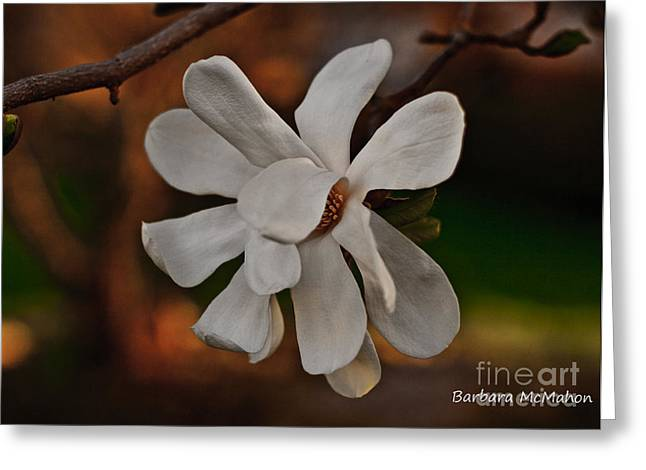 Greeting Card featuring the photograph Magnolia Bloom by Barbara McMahon