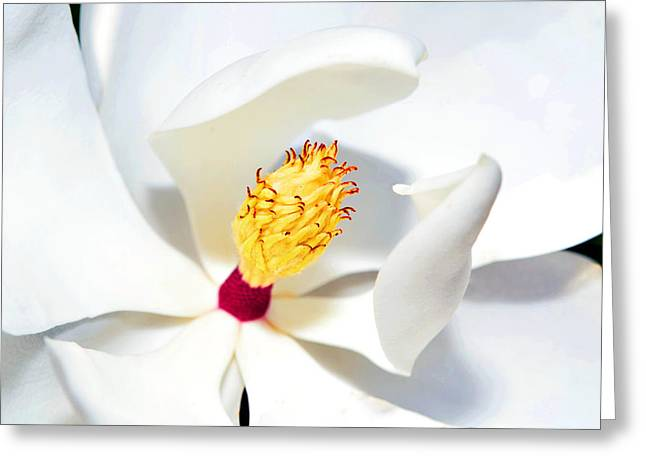 Magnolia Bloom Greeting Card by Susan Leggett