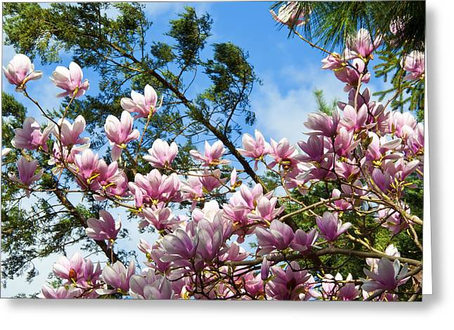 Magnolia Blossoms Greeting Card by Lee Craig